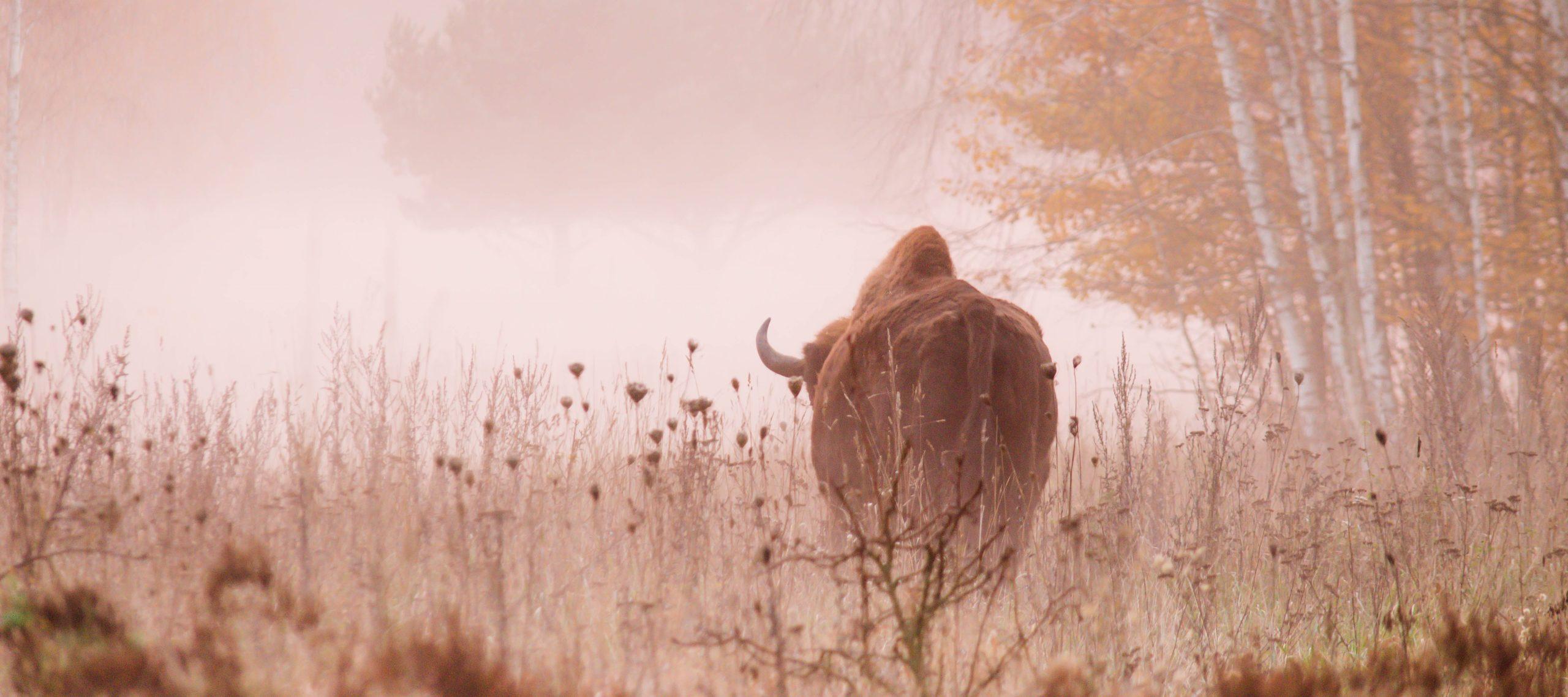 bison-sunset