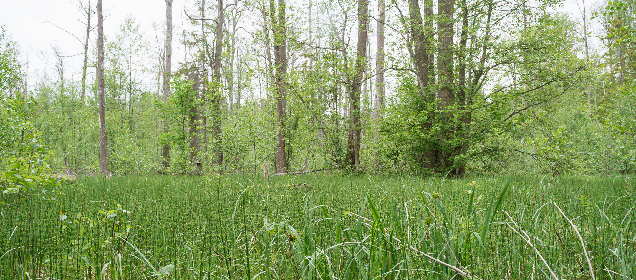 Horsetails in southeast Białowieża Forest