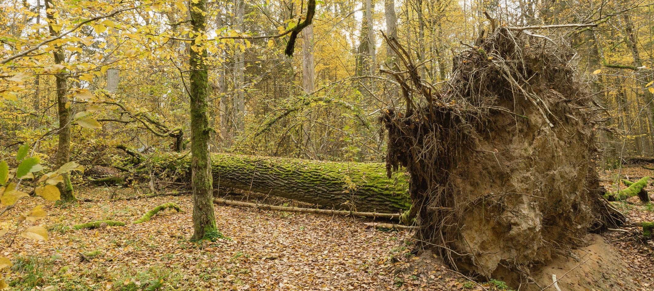 Fallen-tree-BNP